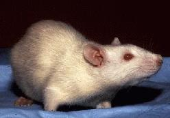 https://i0.wp.com/upload.wikimedia.org/wikipedia/commons/1/1d/Albino_Rat.jpg