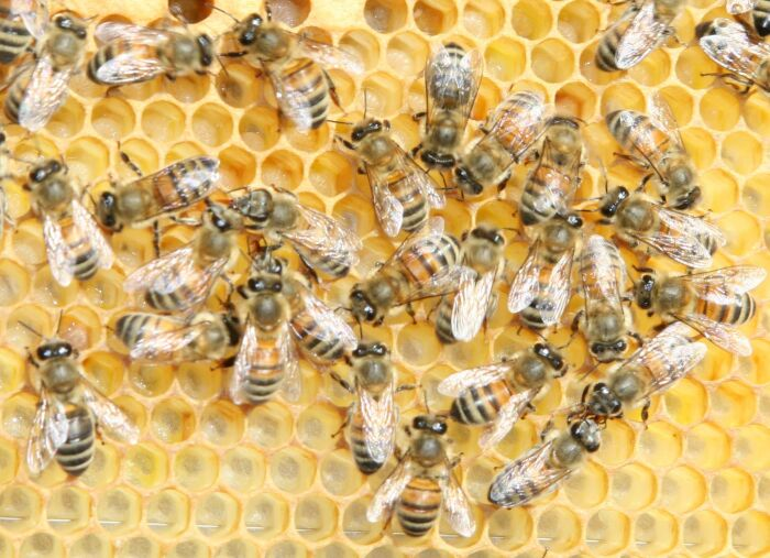 source photo:   http://fr.wikipedia.org/wiki/Fichier:Buckfast_bee.jpg