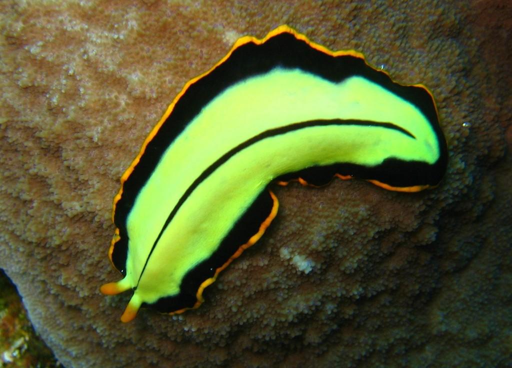 FilePseudoceros dimidiatusjpg  Wikimedia Commons