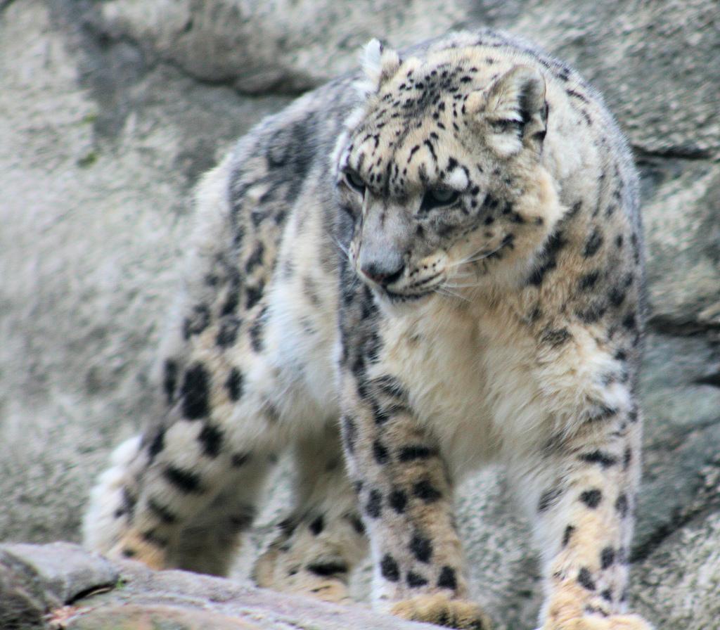 https://i0.wp.com/upload.wikimedia.org/wikipedia/commons/1/1e/Snow_Leopard_1.jpg