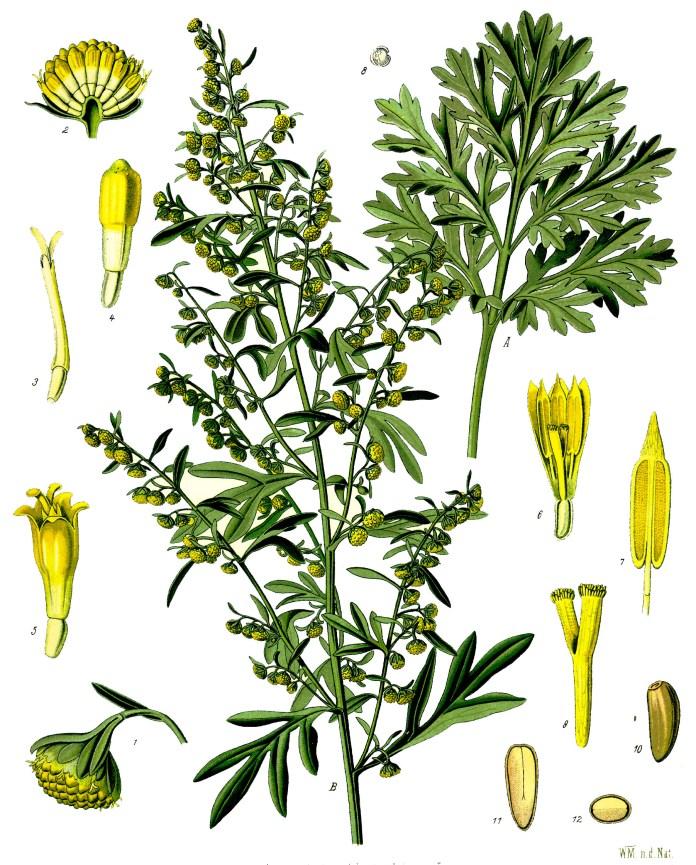 Archivo:Artemisia absinthium - Köhler–s Medizinal-Pflanzen-164.jpg ...