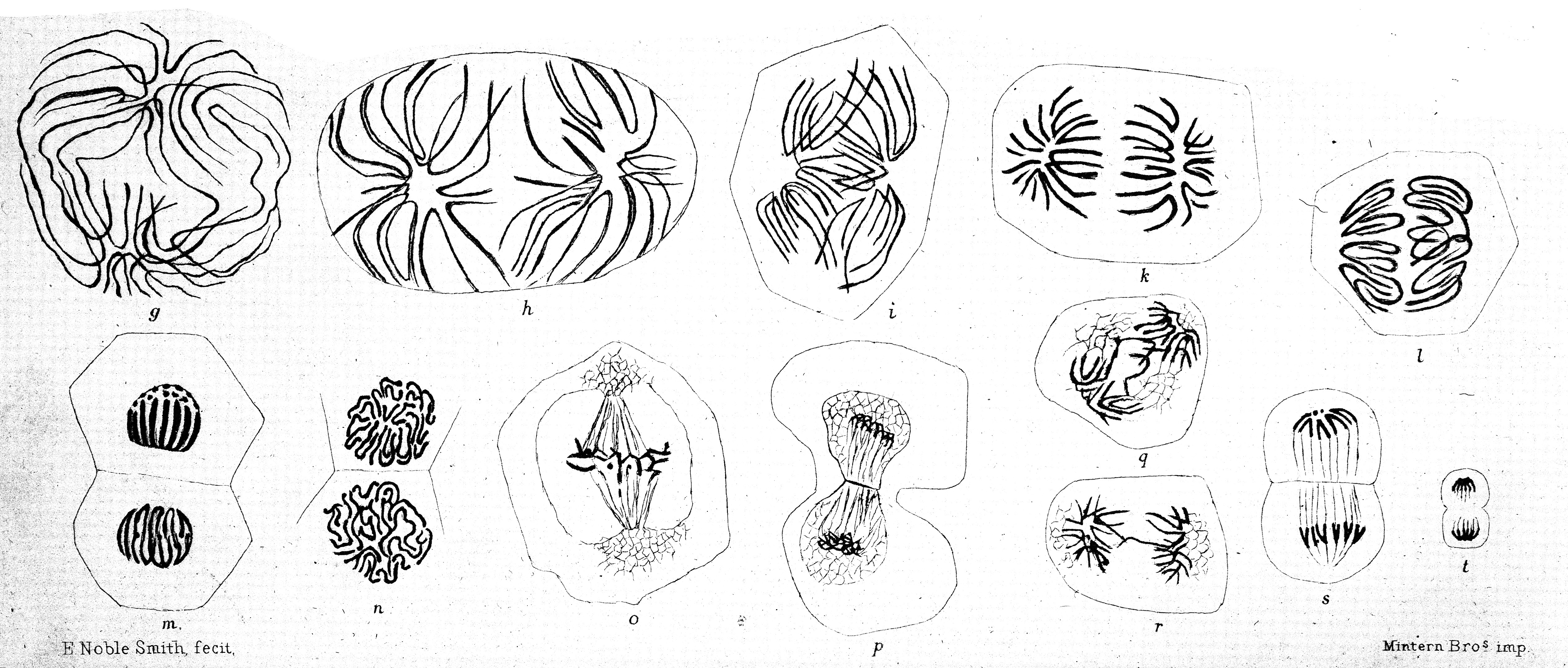 File Figures Showing Cell Division Wellcome M