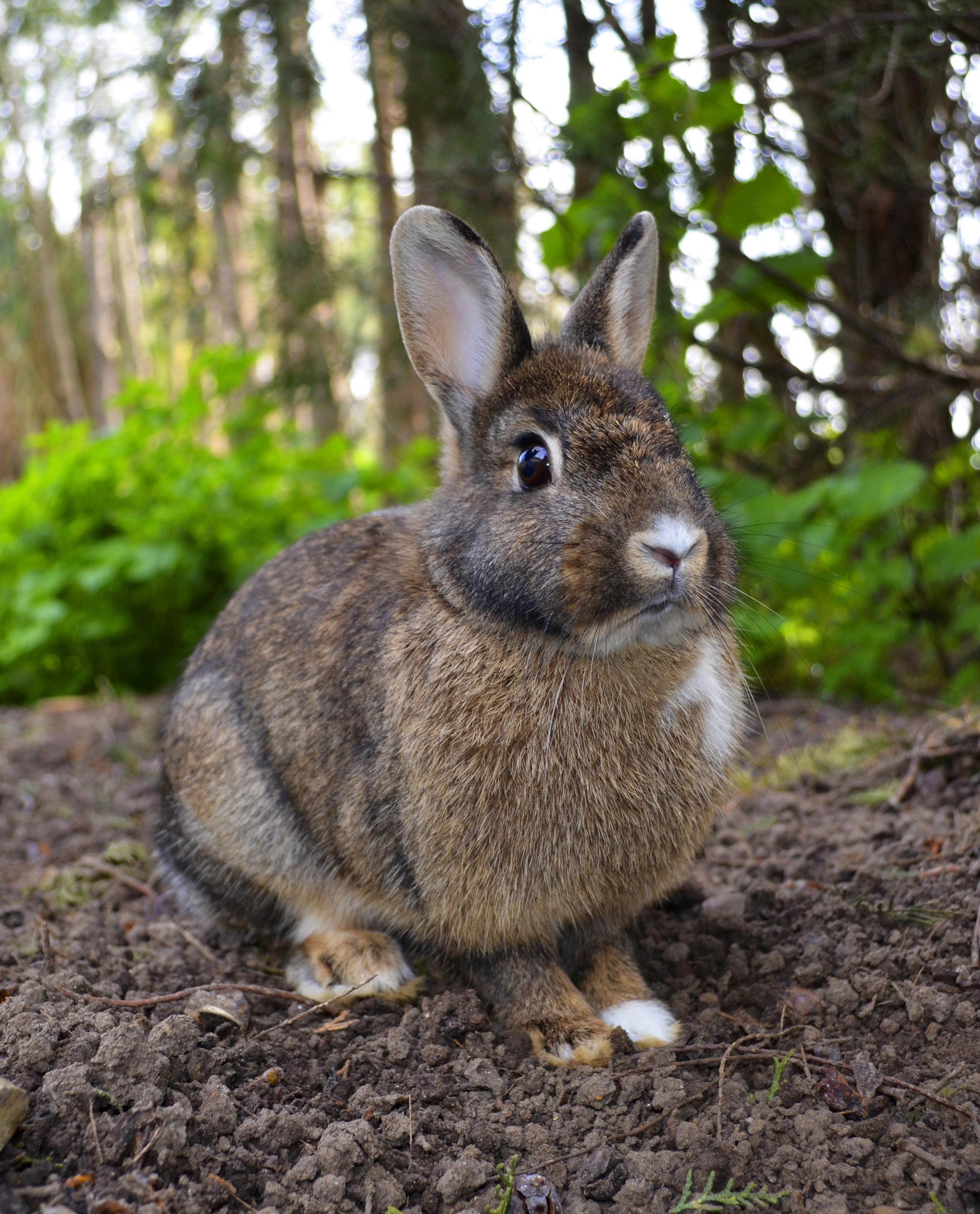 rabbit wikipedia