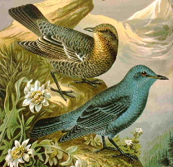 Blue Rock Thrush from old German enc