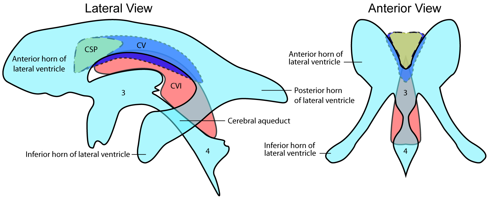 brain diagram sagittal view nerves in neck and shoulder cavum veli interpositi - wikipedia
