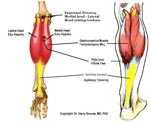 small resolution of file gastrocnemius muscle jpg