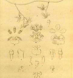 file oncidium maizifolium as o volvox onc cardiostigma trichocentrum carthagenense as onc cart tr cavendishianum as onc pachyphyllum  [ 2750 x 3712 Pixel ]