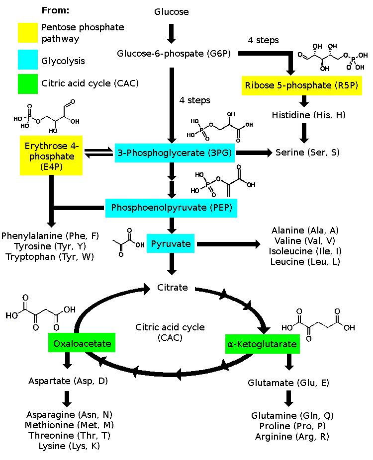 Síntesis de aminoácidos - Amino acid synthesis - qaz.wiki