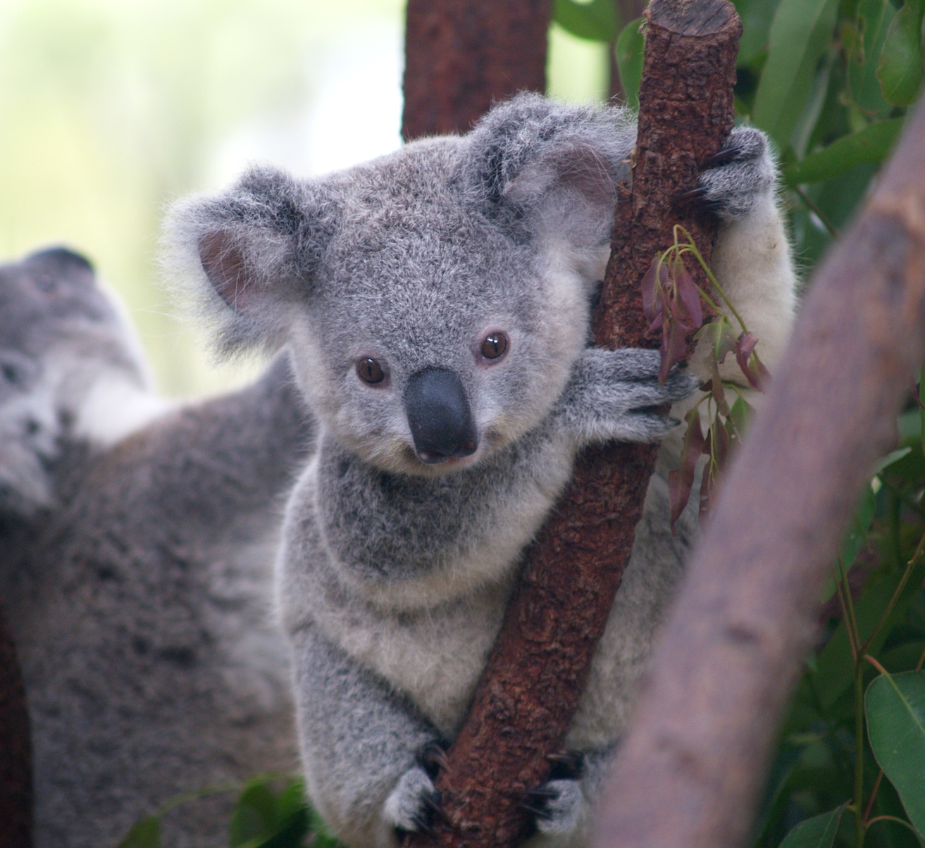 https://i0.wp.com/upload.wikimedia.org/wikipedia/commons/2/21/Cutest_Koala.jpg