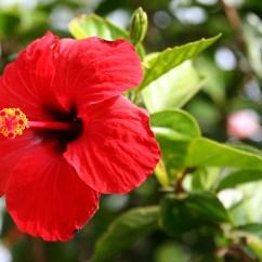 Labelled Diagram Of Pride Barbados Flower Lancer Wiring File Hibiscus Brilliant Jpg Wikipedia