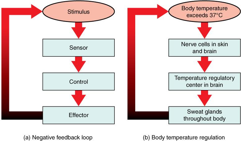 Body Temperature Negative Feedback Loop- Erin Char