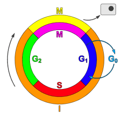 Simple Diagram Of Meiosis Pj Ranger Wiring Cyclin-dependent Kinase - Wikiwand