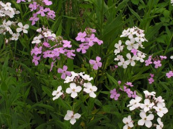 Image result for Hesperis matronalis
