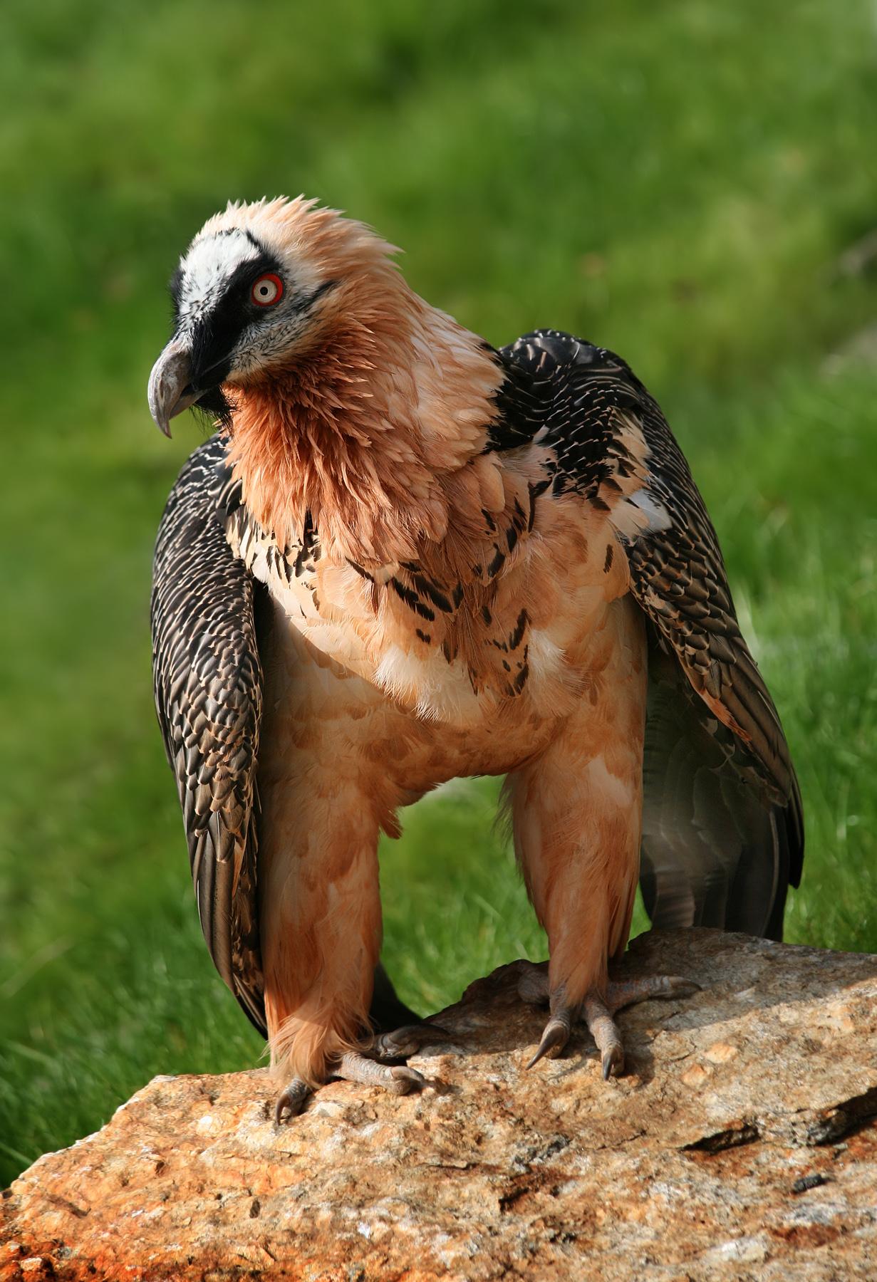 golden eagle skeleton diagram freightliner electrical wiring bearded vulture wikipedia