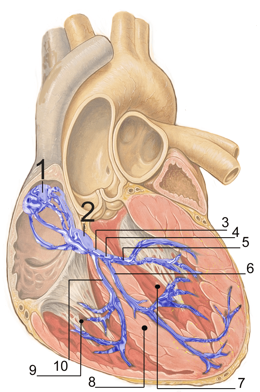 Electrical Conduction System Of The Heart Wikipedia