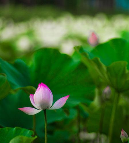 File:Lotus flower in china.jpg