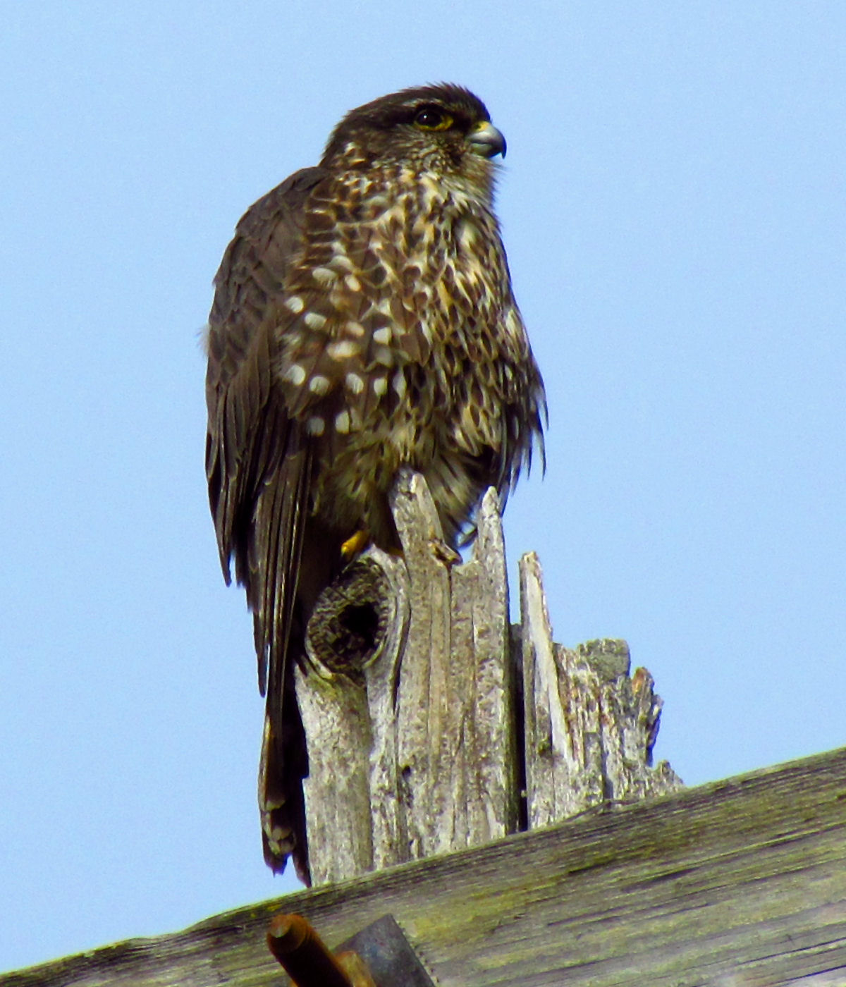 English: Merlin (Falco columbarius), juvenile ...