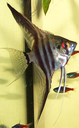 Pterophyllum scalare - Angel Fish