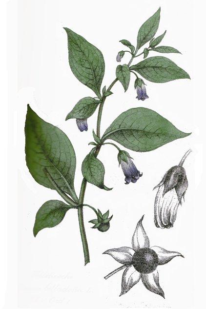 Resultado de imagen para Atropa belladonna L