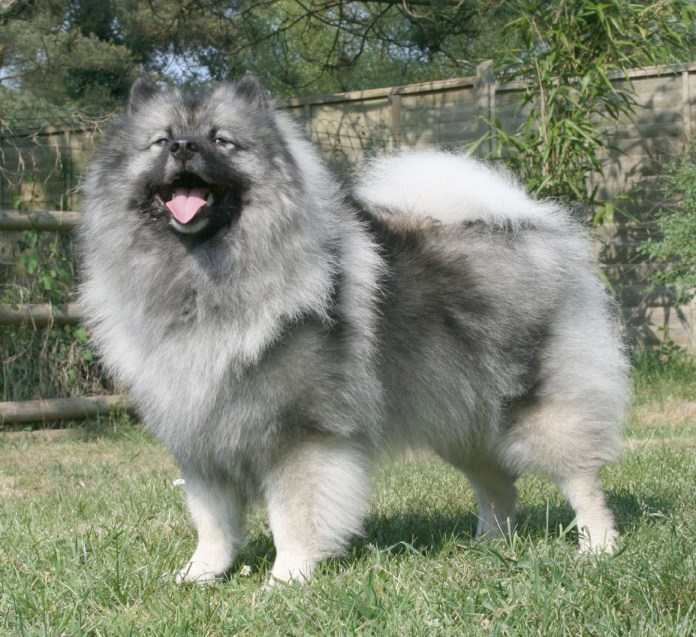 Image result for Keeshond