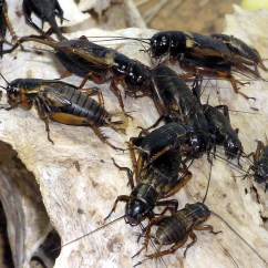 Cricket Life Cycle Diagram 2002 Saturn Stereo Wiring Insect Wikipedia African Field Gryllus Bimaculatus