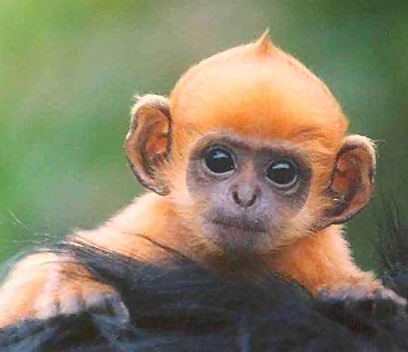 Baby ginger monkey