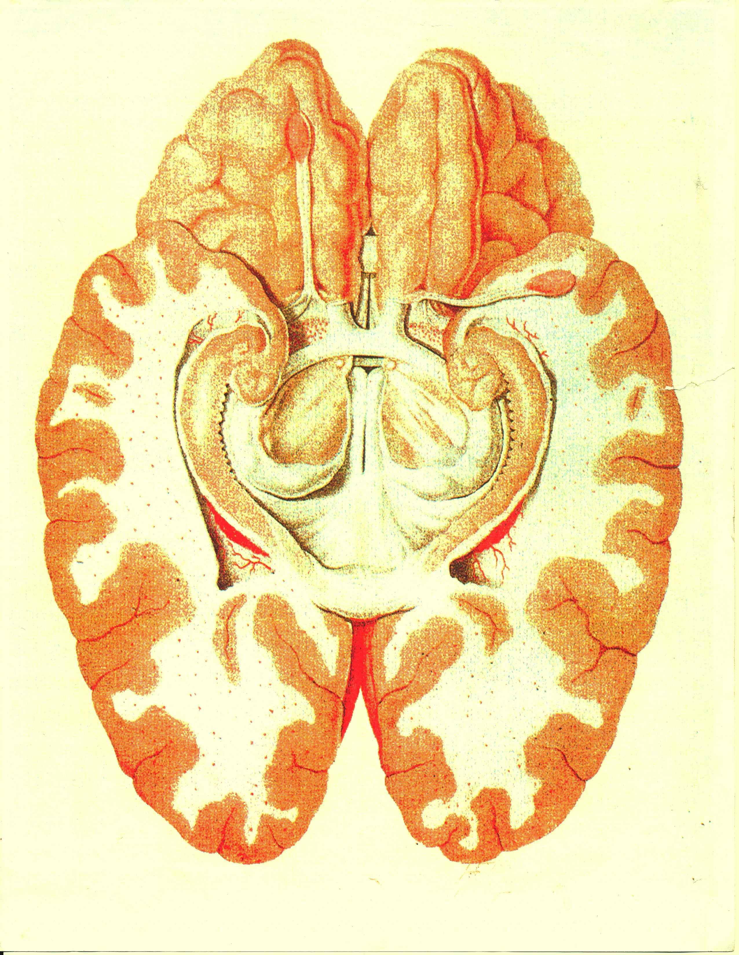 human brain diagram limbic system 5 way round trailer plug wiring wikiwand