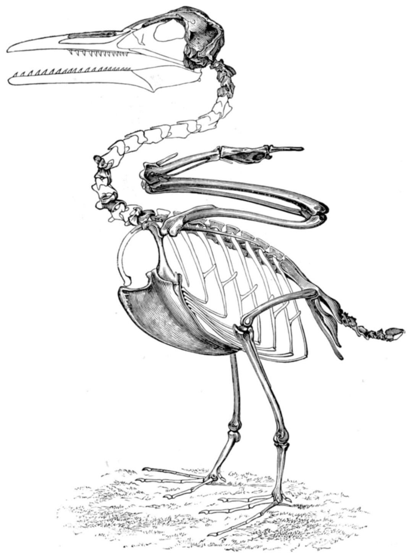 Ichthyornis