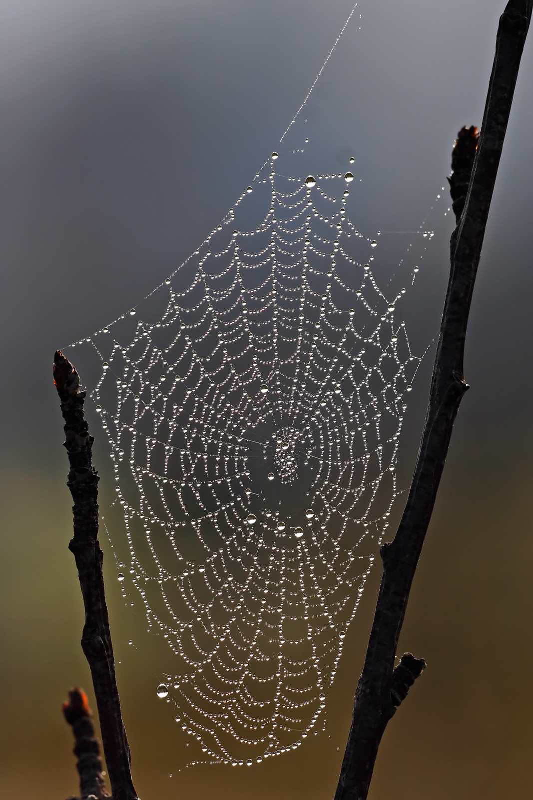 Filespider Web With Dew Dropsjpg  Wikimedia Commons