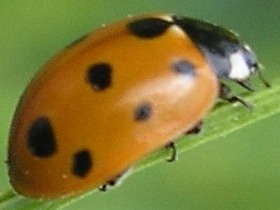 Image of 11-spot ladybug on stem.