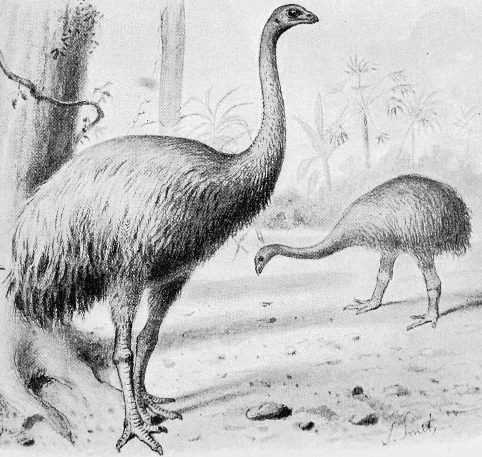 South Island Giant Moa, Dinornis giganteus (fo...