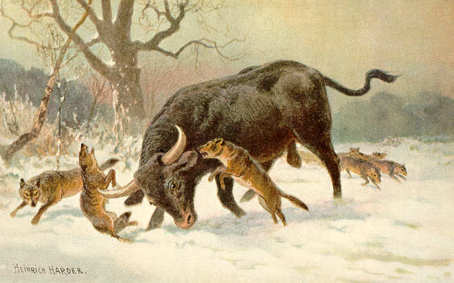 Long horned european wild ox