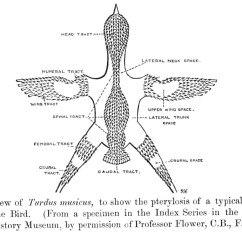 Diagram Parts Of A Feather Ballast Wiring Diagrams File Passerinepterylosis Jpg Wikimedia Commons