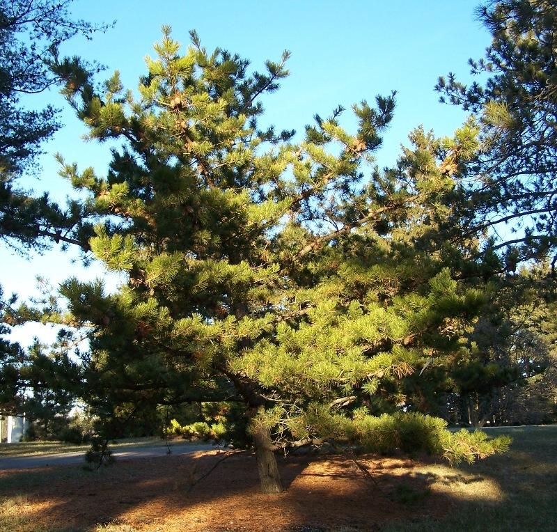 Table Mountain Pine Wikipedia