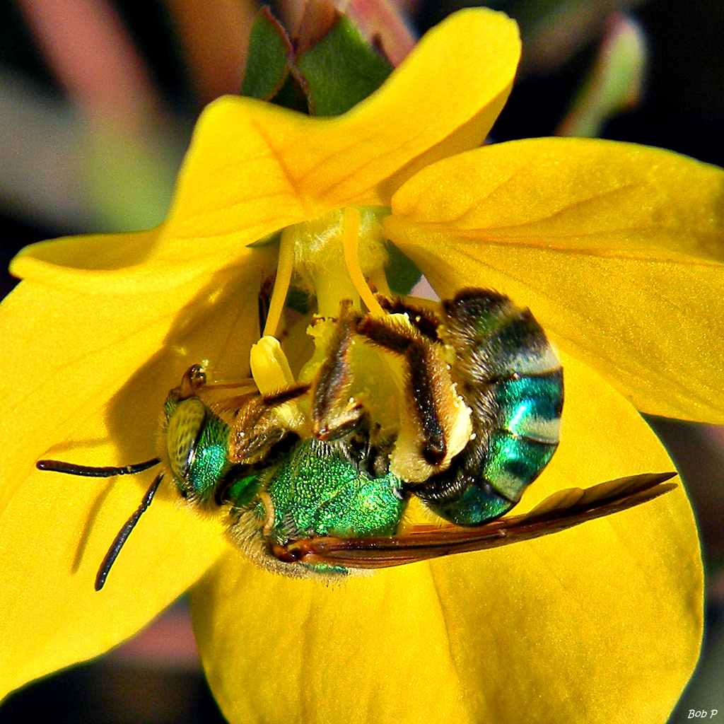Halictinae  Wikipedia la enciclopedia libre