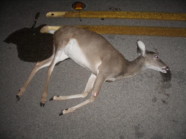 Roadkill cerf