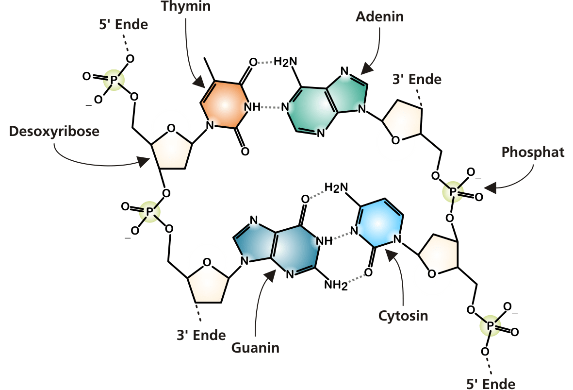 File Dna Chemical Structure Cropped