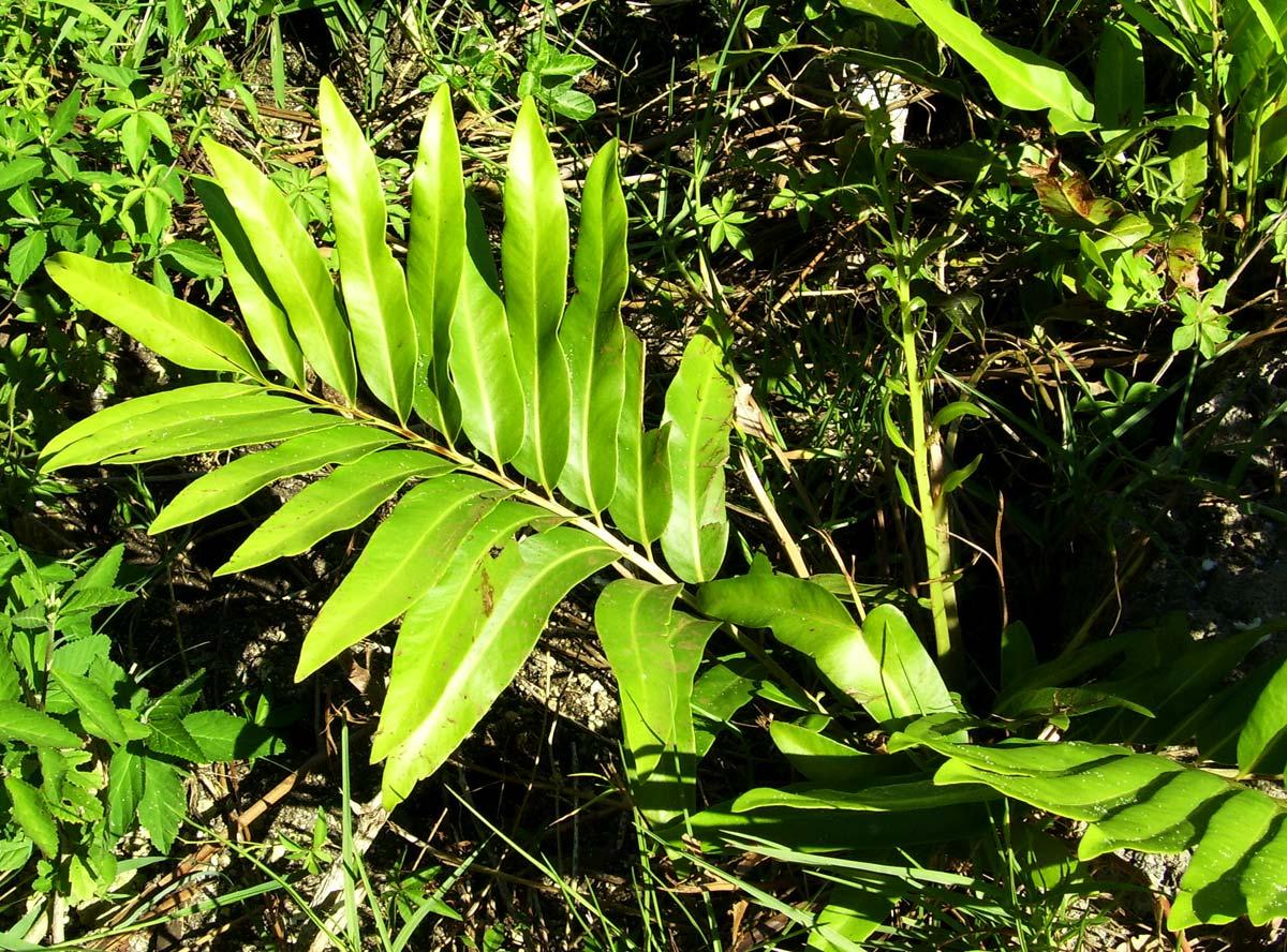 Acrostichum aureum  Tumbuhan Paku Penghuni Hutan Mangrove