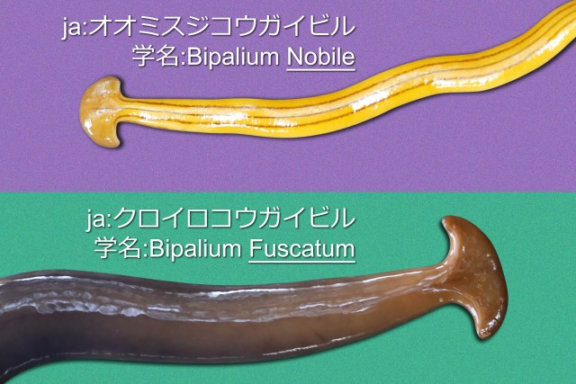 Bipalium 2-Types (by EOS 5D Mark III and Mark IV).jpg