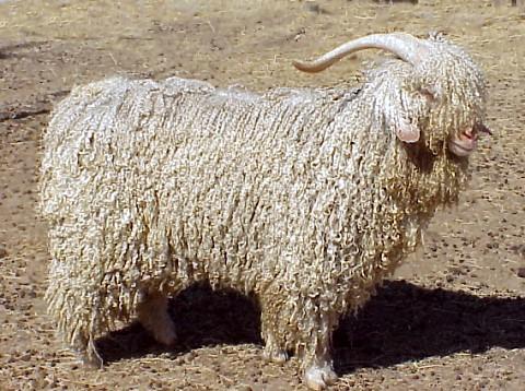 https://i0.wp.com/upload.wikimedia.org/wikipedia/commons/2/2b/Modern_angora_goat.jpg