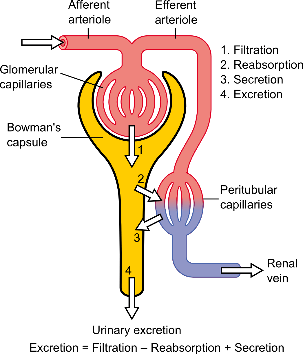 nephron diagram from a textbook 2010 subaru impreza radio wiring renal function wikipedia