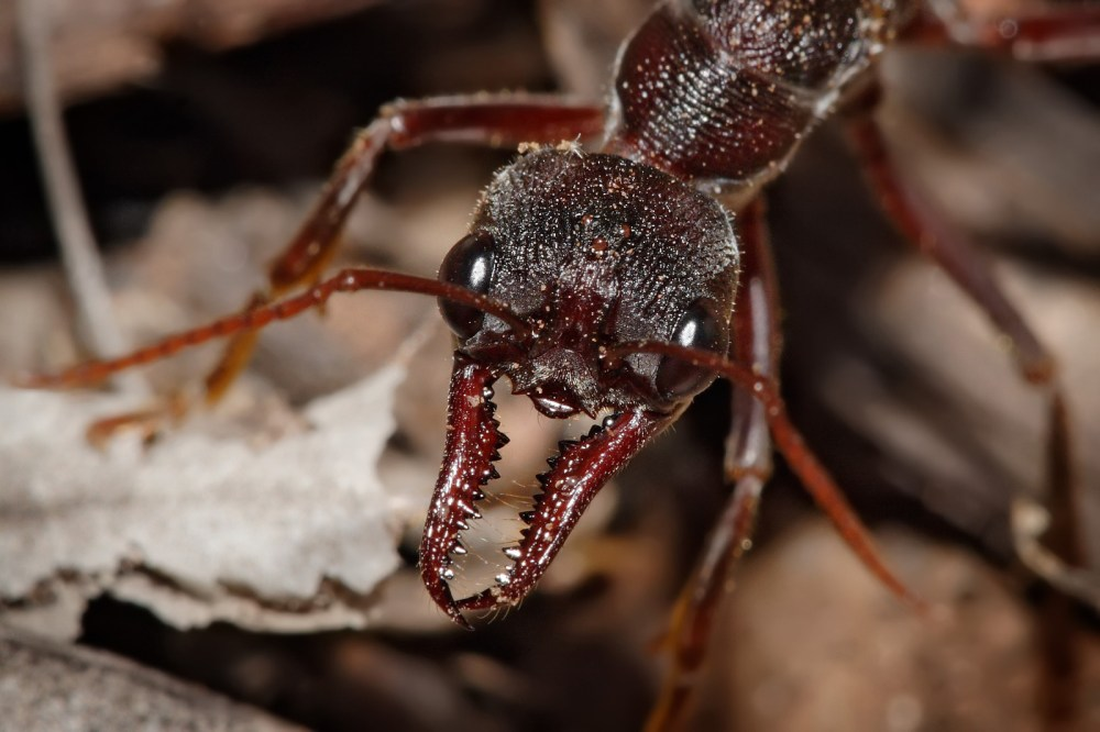medium resolution of bull ant showing the powerful mandibles and the relatively large compound eyes that provide excellent vision