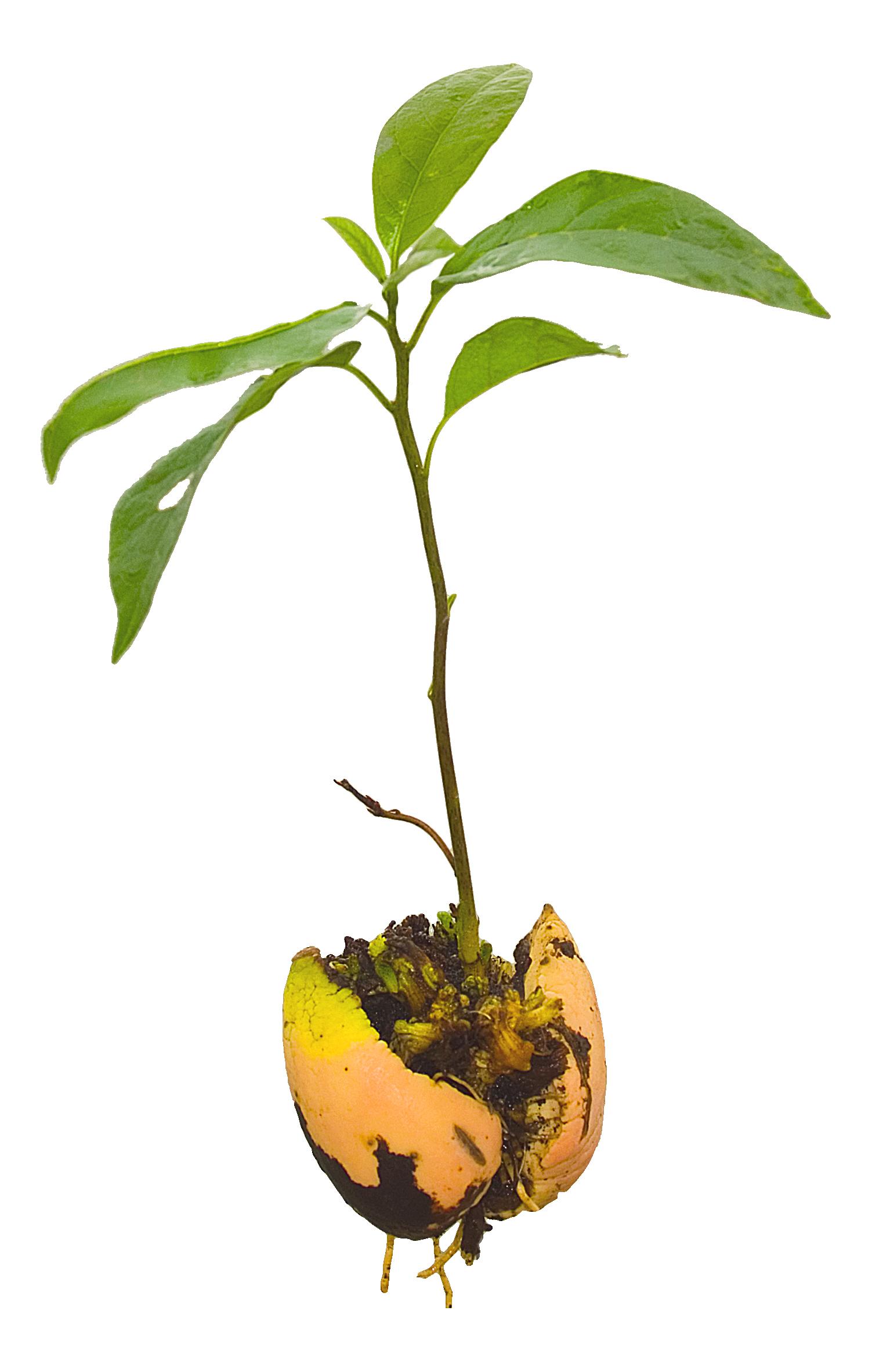 Avocado plant seedling
