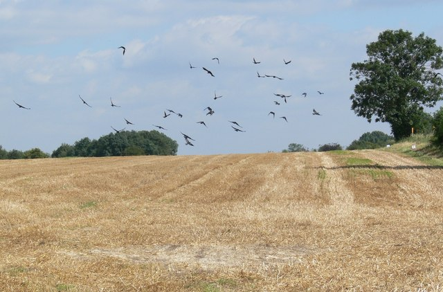 English: Crows in flight This field is close t...