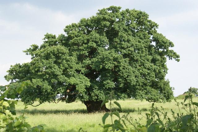 English Oak - geograph.org.uk - 1194077