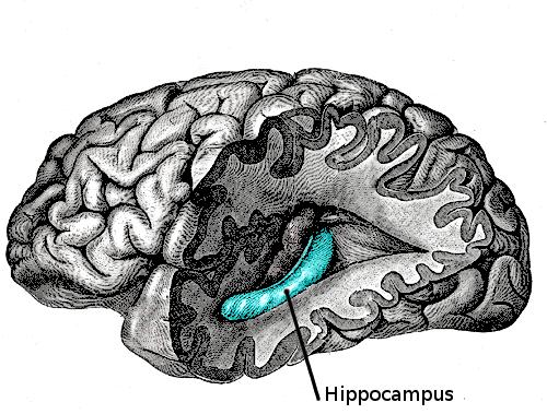 海馬迴與長期記憶 - 大腦與行為