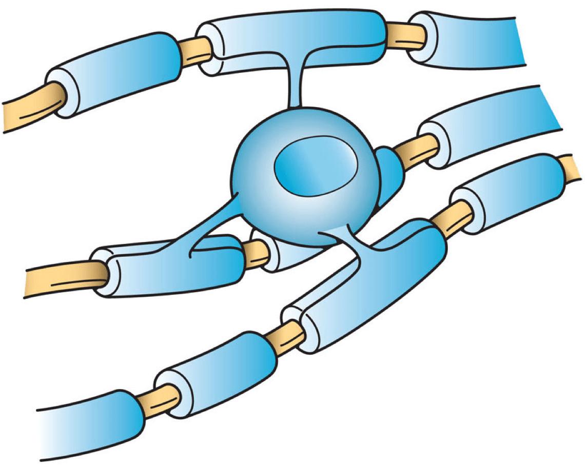 https://i0.wp.com/upload.wikimedia.org/wikipedia/commons/2/2e/Oligodendrocyte_illustration.png