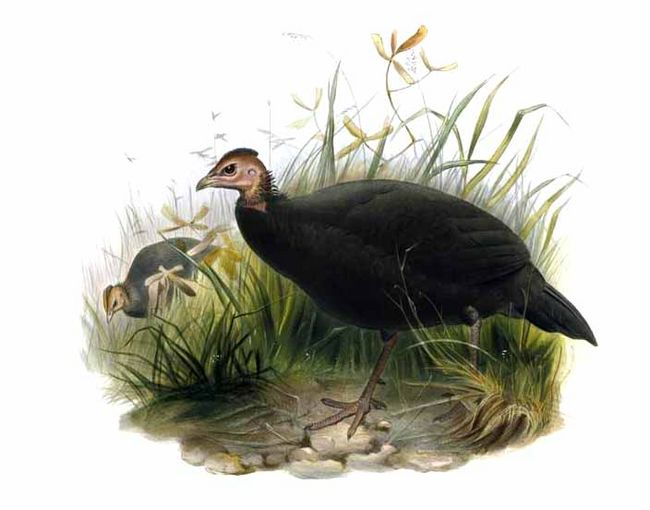 Black guineafowl  Wikipedia