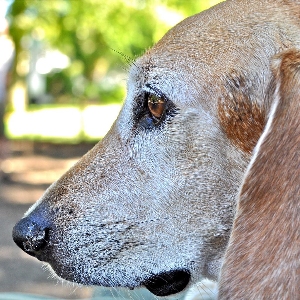 Raza de perro Beagle Harrier  Mascotalia