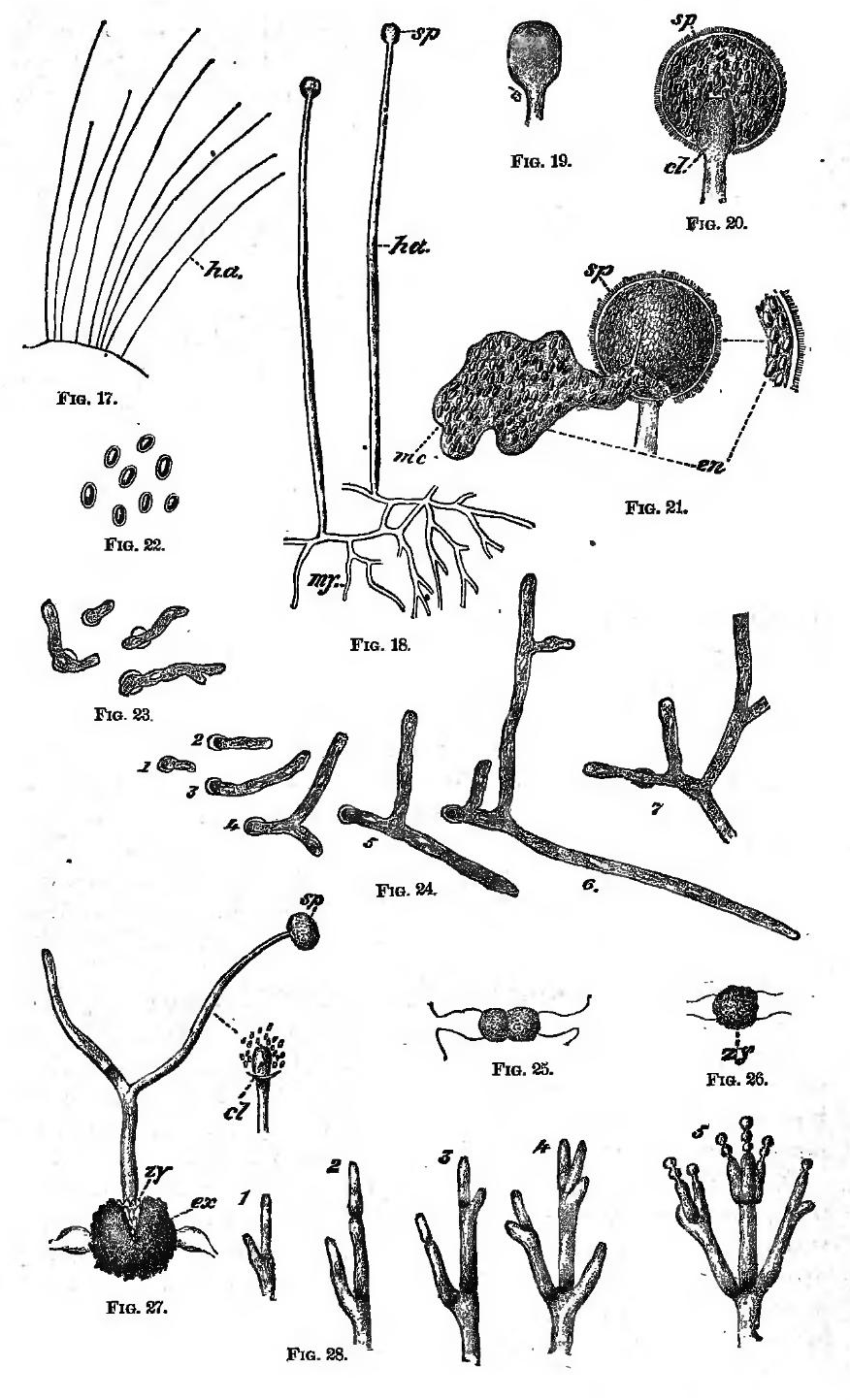 File:Observations of Mucor and Penicillium (A Textbook of